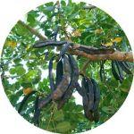 korogonas-ark-wild-carob-tree-beans